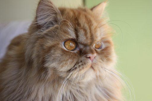 gato persa primer plano