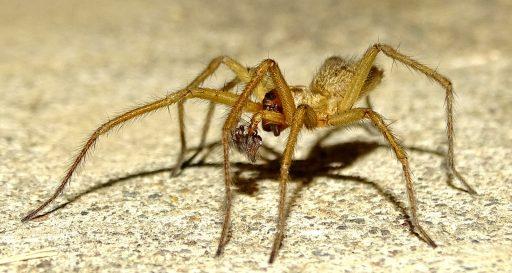 Araña hobo