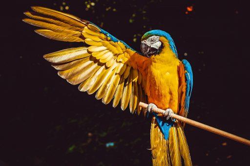 loro amarillo abriendo alas