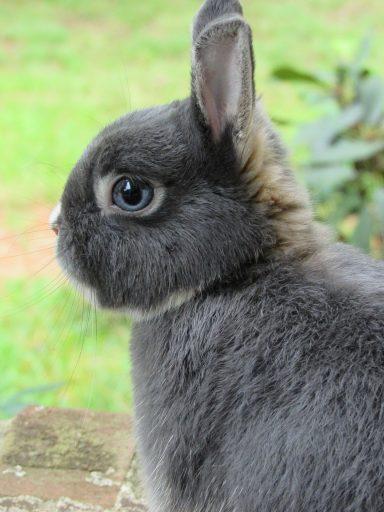 Conejo holandes en el campo