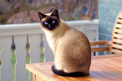 gato siames en mesa