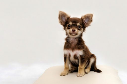 Chihuahua pelo largo marron