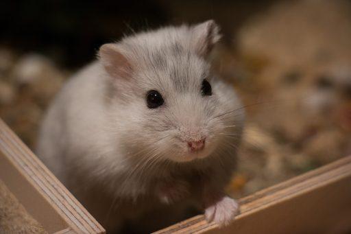 Hamster enano de Campbell