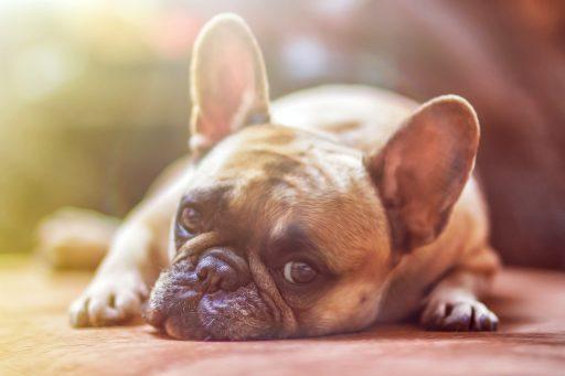 Bulldog francés echado