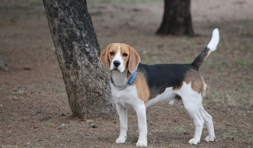 Beagle en bosque