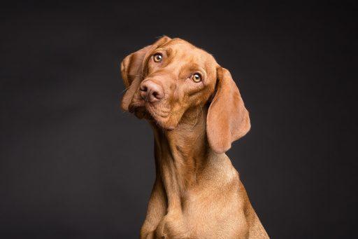 perro de caza cabeza torcida