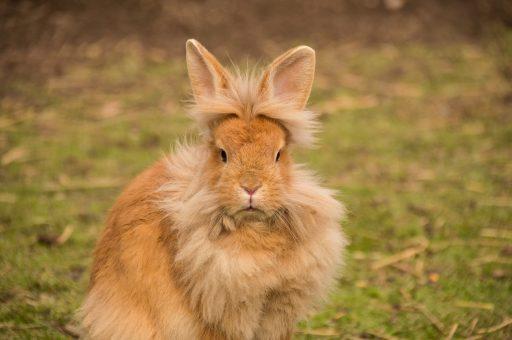 Conejo cabeza de leon en el campo