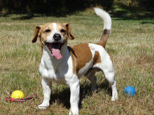 jack russell terrier feliz