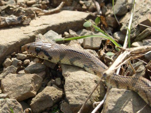 cabeza de serpiente de escalera