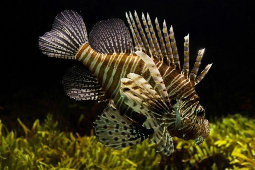 pez tigre a rayas