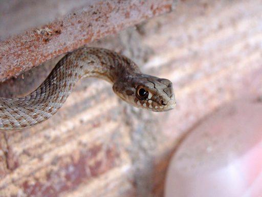 Serpiente bastarda cabeza