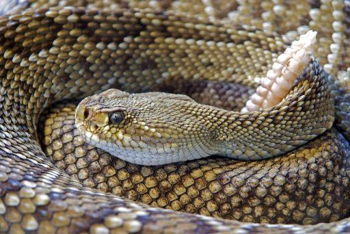 Serpiente de cascabel enrollada