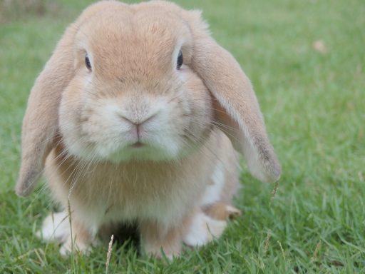 Conejo belier en el campo