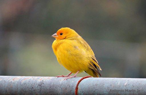 Canario amarillo en rama