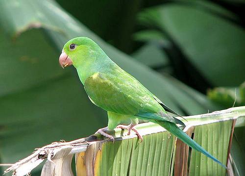 Periquito verde en rama