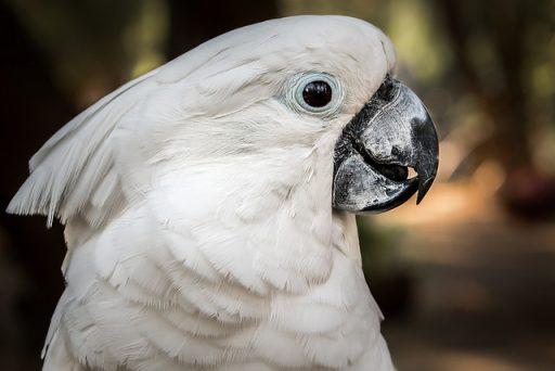 Cacatúa cabeza blanca
