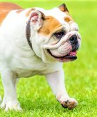 Bulldog inglés paseando en el cesped