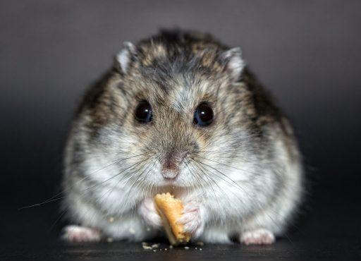 Hamster ruso comiendo fondo negro