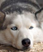 Cruce de husky con