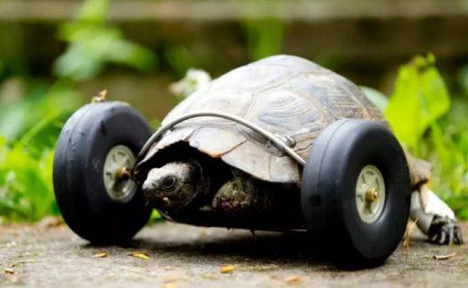Tortuga con ruedas