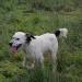 Apariencia de un perro cruza entre breton y setter