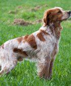Cruce de perro setter y breton
